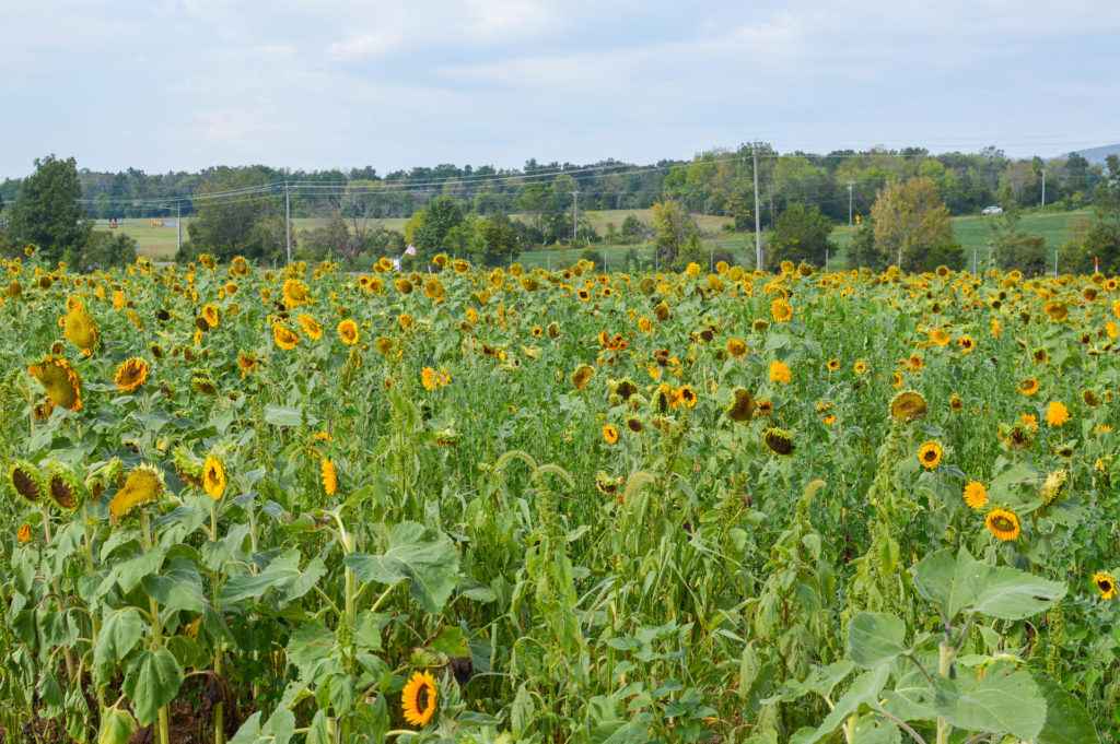 Sunflowers for Days | Breezing Through-1