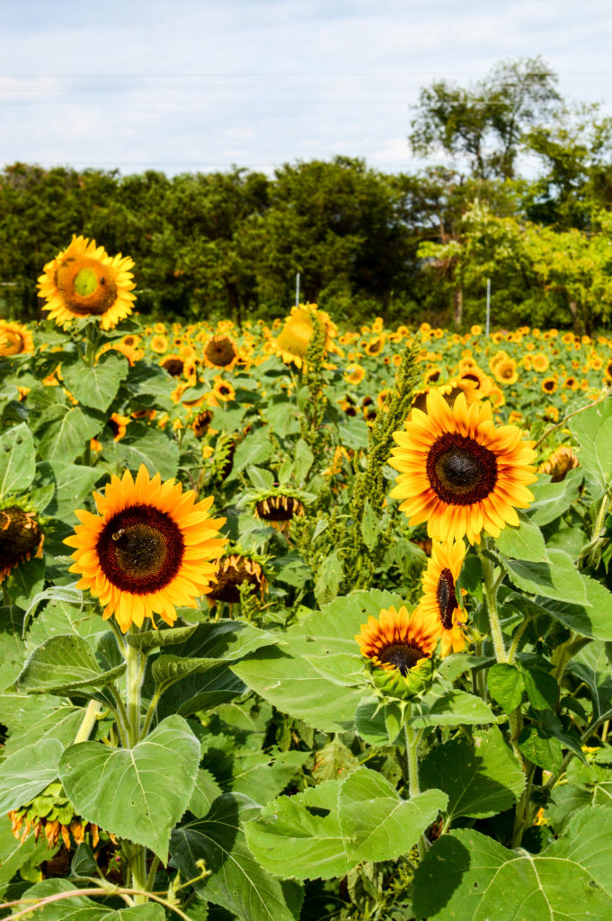 Sunflowers for Days | Breezing Through-12
