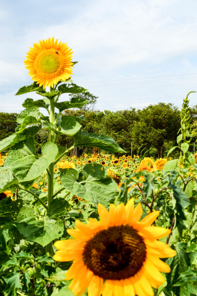 Sunflowers for Days | Breezing Through-18