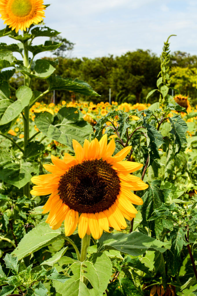 Sunflowers for Days | Breezing Through-21