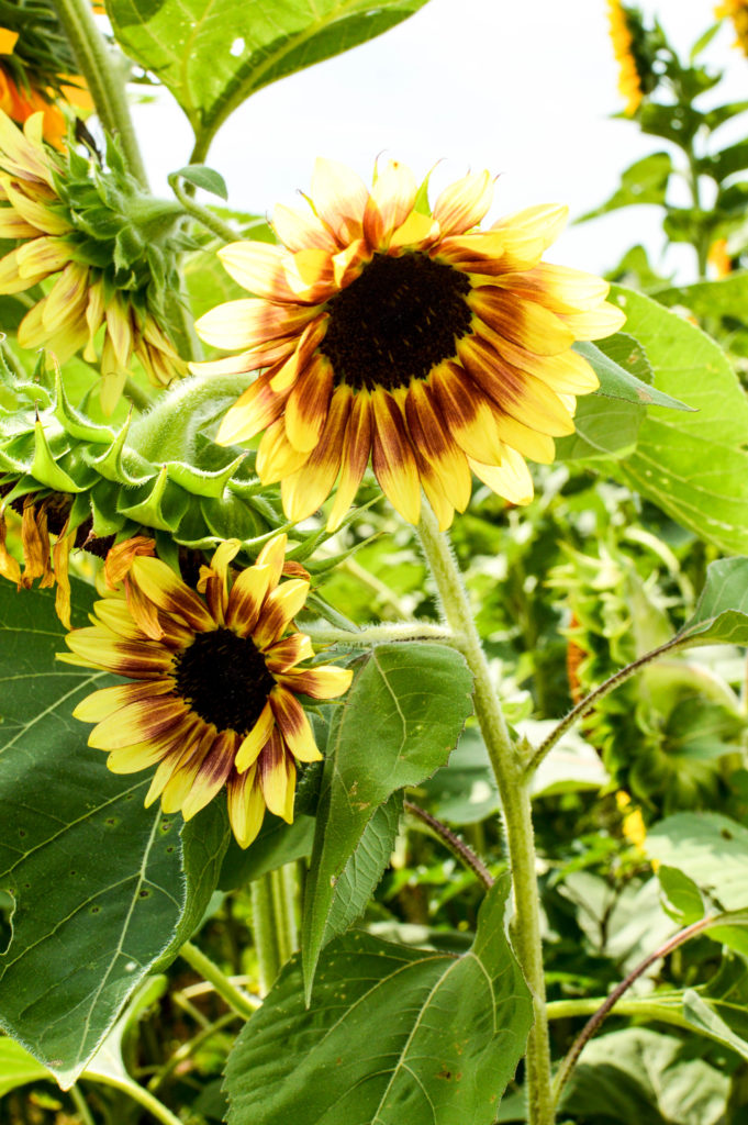 Sunflowers for Days | Breezing Through-22