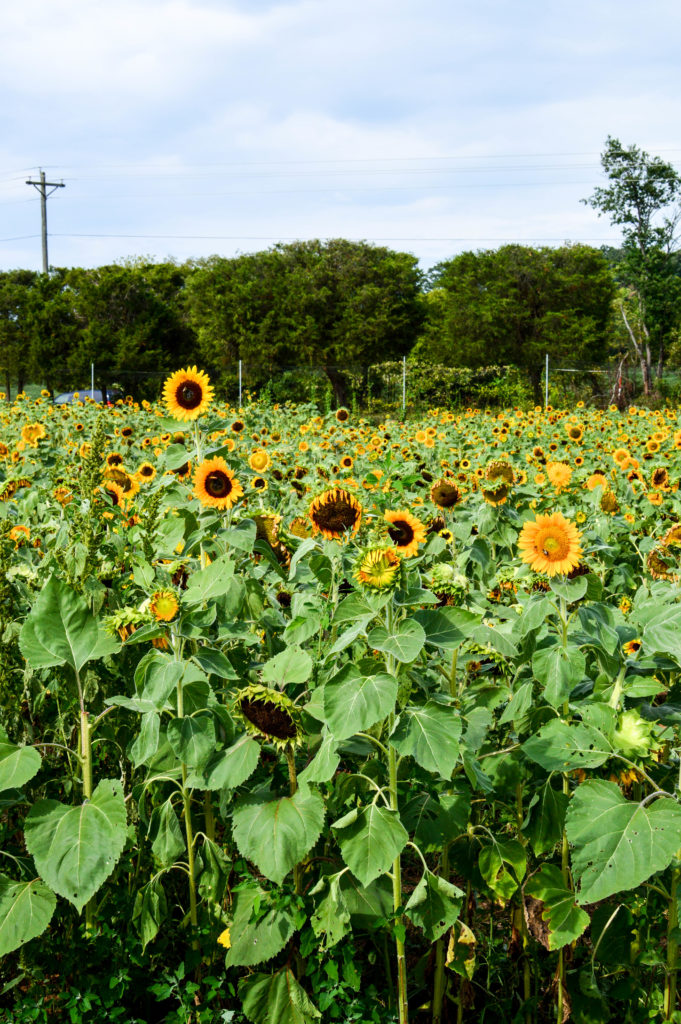 Sunflowers for Days | Breezing Through-6